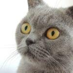Gato gris con mirada ausente